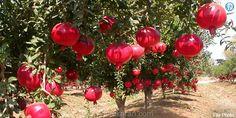 சொட்டுநீரில் விளையும் மாதுளை : வறட்சியில் கை கொடுக்கும் விவசாயம் | Pomegranate grown in the drip, Agriculture will give a hand to drought   தர்மபுரி: வானம் பார்த்த பூமியான தர்மபுரி மாவட்டத்த�... Check more at http://tamil.swengen.com/%e0%ae%9a%e0%af%8a%e0%ae%9f%e0%af%8d%e0%ae%9f%e0%af%81%e0%ae%a8%e0%af%80%e0%ae%b0%e0%ae%bf%e0%ae%b2%e0%af%8d-%e0%ae%b5%e0%ae%bf%e0%ae%b3%e0%af%88%e0%ae%af%e0%af%81%e0%ae%ae%e0%af%8d-%e0%ae%ae%e0%ae%be/