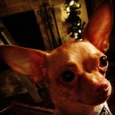 Chihuahua Lulu!
