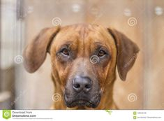 Photo about Detail Of Old Rhodesian Ridgeback dog. Portrait and his awesome look. Image of canine, boyfriend, color - 109546448 Rhodesian Ridgeback, Dog Portraits, Labrador Retriever, Stock Photos, Detail, Dogs, Animals, Image, Labrador Retrievers