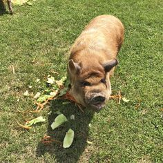 The Roxborough Retirement Residence in Newmarket is helping out a local hobby farm by delivering its fruit and vegetable scrapes for the pigs to eat. They enjoy a weekly feast thanks to the Roxborough! 😊 #vervecares #community #goodtimes  #fruits Senior Living Communities, Wellness Activities, Hobby Farms, Pigs, Good Times, Retirement, Community, Fruit, Eat