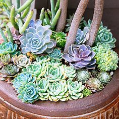 Top-dress with plants: A container of false aralia is underplanted with a living mulch of echeveria, sempervivum, and senecio.