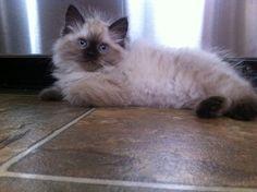 Bella , Ragdoll kitten