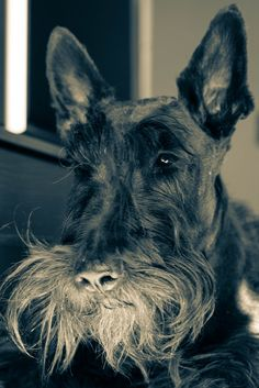 And obviously, they have extraordinary facial hair. | 21 Reasons Scottish Terriers Are The Champions Of Our Heart