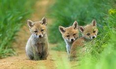 Fox cubs they look like Suzy Cute Baby Animals, Animals And Pets, Wild Animals, Beautiful Creatures, Animals Beautiful, Fox Pictures, Cute Animal Videos, Animal Pics, Cute Fox