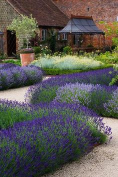 Lavender Hidcote - to stop it becoming overgrown/woody, prune back by two thirds in late August so new growth hardens up before winter comes. Plant in spring or autumn.