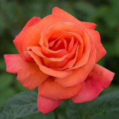 Flowering Bushes, Perennial Flowering Plants, Pretty Roses, Beautiful Roses, Planting Bulbs, Planting Flowers, Roses Discount Store, Rose Delivery, Shrub Roses