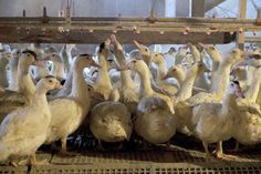 Video or photographic footage of one badly managed farm or even a thousand badly managed farms does not prove that the production of foie gras, as a practice, is necessarily harmful to the health or mental well-being of a duck. Foie gras production should be judged not by the worst farms, but by the best, because those are the ones that I'm going to choose to buy my foie from if at all.