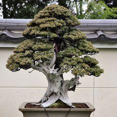 Tosho - needle juniper