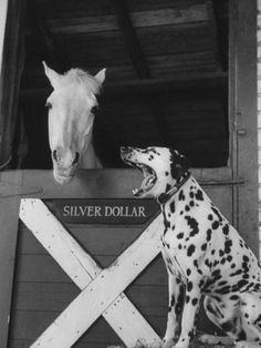 Dalmatian stable dog :) Dafne and Harley
