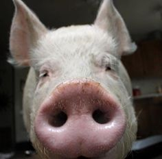 Esther the Wonder Pig! <3