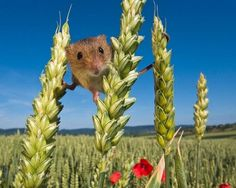 The Secret Life of the Harvest Mice  ~  Photographers Jean-Louis Klein and Marie-Luce Hubert, both from Alsace, France, spent the year snapping the elusive harvest mice in a project that ended with their release into the wild. Laying patiently in meadows and reed beds, the pair were able to capture the fascinating images. A stunning and rare insight into the secret tiny lives of adorable harvest mice is revealed in incredible pictures captured painstakingly over 12 months.