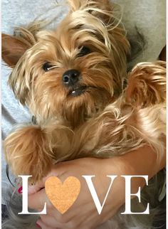 Silky Terrier, Yorkshire Terriers, Yorkies, Adorable Animals, Animal Pictures, Fur Babies, Pets, Cute Puppies, Puppies