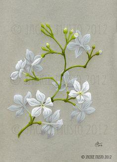 jasmine flower drawing - Google Search