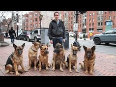 Dog Whisperer: Trainer Walks Pack Of Dogs Without A Leash - YouTube