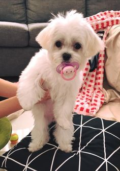 Maltese cutie
