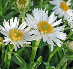 Mimmis blommor - tulpaner