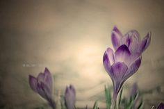 The Crocus  flower photography  spring  garden  by margaretlillian