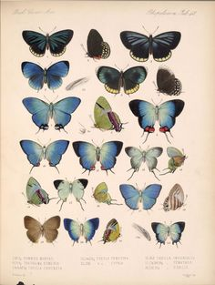 Smithsonian Institution Libraries Detail of Butterflies and Moths Image no.bca_14_03_00_059