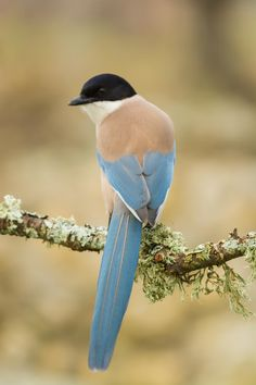Azure-winged Magpie Cyanopica cyanus | by Fernando Sanchez de Castro on 500px