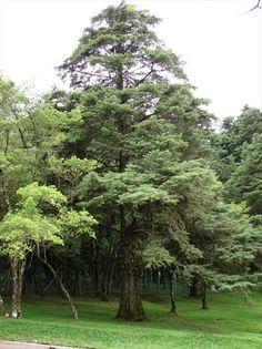 Árvore Cipreste em Curitiba. Foto: Divulgação - Portal da Prefeitura de Curitiba.