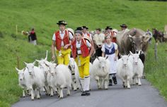 June 2010 Leading herds to mountain pastures in canton Appenzell Outer Rhodes. Boys and girls in traditional costume accompany goats and cows up to the Schwägalp.