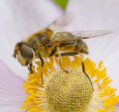Hoverfly by Laila Krakeli on 500px