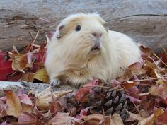 Autumn Piggy