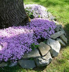 Landscaping Around Trees Phlox and Stones