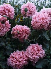PIONVALLMO 'Pink Paeony'