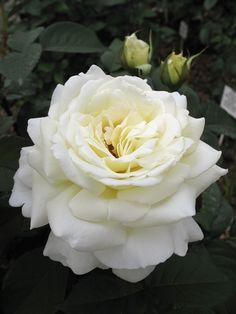 'Jeanne Moreau' | Hybrid Tea Rose. Meilland 2005