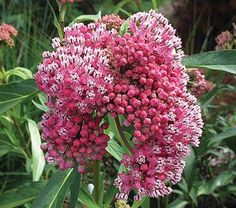 Asclepias incarnata Cinderella - A genuine star whose unusually dense clusters of pale pink flowers open from dark pink buds. The vanilla-scented flowers last well in water and attract butterflies and hummingbirds. Plants are deer resistant and heat tolerant, too.