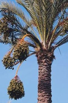 Growing date palms from seed