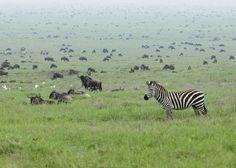 Mass mammal migration