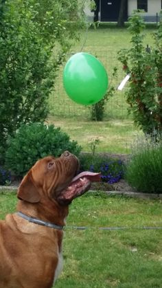 Maggie Mae, Sadie, Cute Animals, Joker, French, Dogs, Dogue De Bordeaux, Pretty Animals, French People
