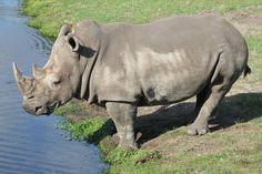 White Rhino  by C.D.