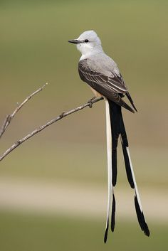 scissor-tailed flycatcher  (photo by photon freak) [ Look along fence and wire lines- they are often seen in Texas. ]