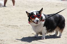Corgis wearing goggles. | This Is What Happens When 140+ Corgis Have A Beach Party