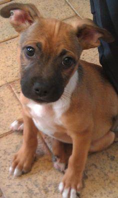 My baby chompa - English staffie X kelpie