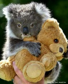 Teddy bears are a comfort to many. Sending prayers to Australia. Super Cute Animals, Cute Funny Animals, Cute Baby Animals, Animals And Pets, Cute Koala Bear, Koala Bears, Koala Marsupial, Australia Animals, Tier Fotos