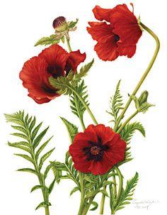 Papaver orientale (Poppy) - Botanical illustration by Milly Acharya
