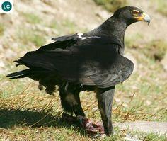 Đại bàng Verreaux/Đại bàng đen châu Phi | Verreaux's eagle/African black eagle (Aquila verreauxii)(Accipitridae) IUCN Red List of Threatened Species 3.1 : Least Concern (LC) | (Loài ít quan tâm)(Nhà thực vật học và điểu học người Pháp Jules Pierre Verreaux 24/8/1807–7/9/1873)