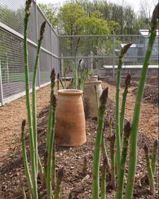asparagus bed how-to, Martha Stewart. Good idea for a permanent asparagus area once the fence is put up. Maybe clear area by the generator