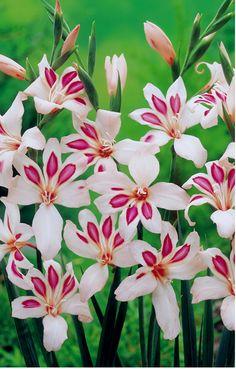 ~~Gladioli Corms - Elvira Gladiolus ~ unusual flower spikes   Dobies~~