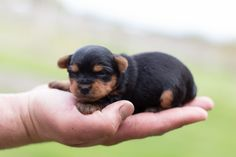 Looking for Yorkshire Terrier puppies? Lancaster Puppies has them for sale now. See our small dogs breeds, and get your Yorkshire Terrier now! Tiny Puppies, Cute Dogs And Puppies, Puppies For Sale, Cute Funny Animals, Cute Baby Animals, Yorkie Puppy For Sale, Lancaster Puppies, Tiny Tiny, Yorkshire Terrier Puppies