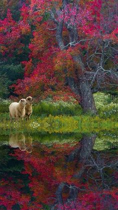 Colorful autumn reflection w/ sheep Foto Nature, All Nature, Green Nature, Beautiful World, Beautiful Places, Beautiful Pictures, Tier Fotos, Jolie Photo, Beautiful Landscapes
