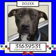 \r\n**Fort Worth, TX - Current Status: CODE RED - possible euthanasia on 6\/19\r\n\r\nReason for URGENT: Upper Respiratory Infection\r\n\r\nAnimal ID: 31639531\r\n Name: Dozer\r\n Breed: Pit Bull mix\r\n Sex: Male\r\n Age: 2 years\r\n Weight: 62 lbs\r\n Neutered\r\n\r\nIntake: 5\/18\r\n Found: 5700 blk Remington 76119\r\n\r\nPersonality\r\n 6\/14: Dozer is a friendly dog. He sits very nicely for treats and is also dog friendly.- Nicol\r\n
