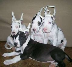 160 Best Great Danes images | Great danes, Cute dogs, Gran ...