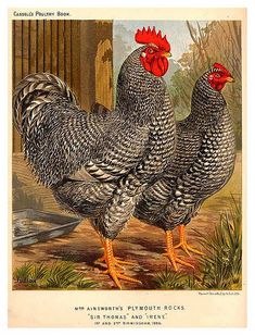 Great Fresh Chicken Eggs and Protein – Chicken In The Shadows Chicken Signs, Best Chicken Coop, Fresh Chicken, Chicken Art, Farm Chicken, Rooster Painting, Rooster Art, Rooster Decor, Best Egg Laying Chickens