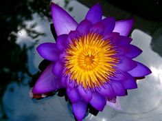 Purple Lotus! What Is Your Spirit Flower?