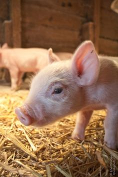 I will have a miniature pig one day.